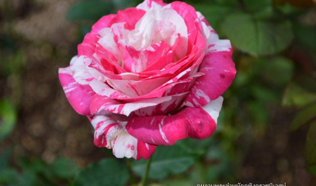 กุหลาบพระตำหนักภูพิงค์ราชนิเวศน์, กุหลาบ, กุหลาบสีชมพู, กุหลาบภูพิงศ์, ดอกไม้, flower, rose, pink rose