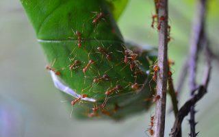 เพลงมดตัวน้อย, มด, มดแดง, Ants, รังมดแดง, มดแดงทำรัง