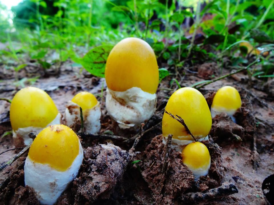 เห็ด, เ ห็ ด ร ะ โ ง ก, mushroom, เห็ดสีเหลือง, เห็ดระโงกสีเหลือง, สีเหลือง