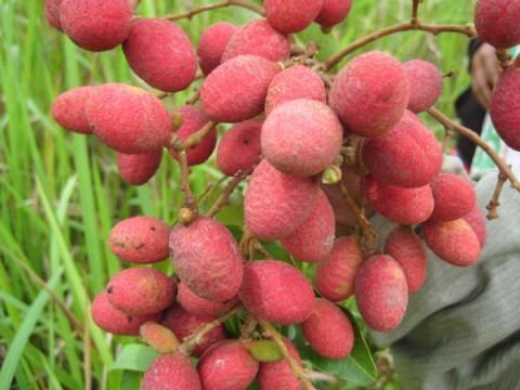 บักแงว, ผลไม้, fruit, มะแงว, มะแงะ, คอแลน, คอลัง, ลิ้นจี่ป่า,