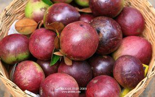 บักน้ำนม, star apple, สตาร์แอปเปิ้ล, บักยาง, แอปเปิ้ลน้ำ, ต้นหมากนม,