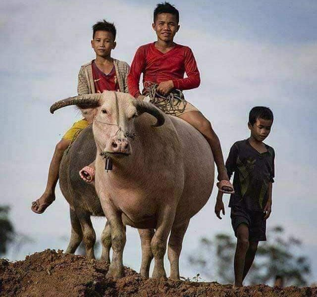 Riding a buffalo, buffalo, ขี่ควายด่อน, ควายด่อน, ควาย, ควายเผือก, เด็ก, เด็กขี่ควาย, คนอีสาน, อีสาน, อีสานบ้านเฮา, เลี้ยงควาย, เด็กเลี้ยงควาย,