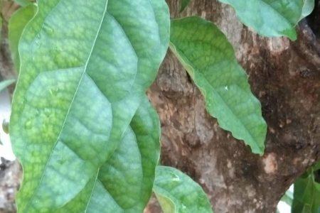 ต้นหญ้านาง, ย่านาง, หญ้านาง, ใบไม้, ใบไม้เขียว, สีเขียว, หมื่นปีบ่เฒ่า, ย่านนาง, ยานนาง, ขันยอ, หยาดนาง, Tiliacora triandra (Colebr.) Diels., ไม้เลื้อย, เถาวัลย์, จอยนาง,